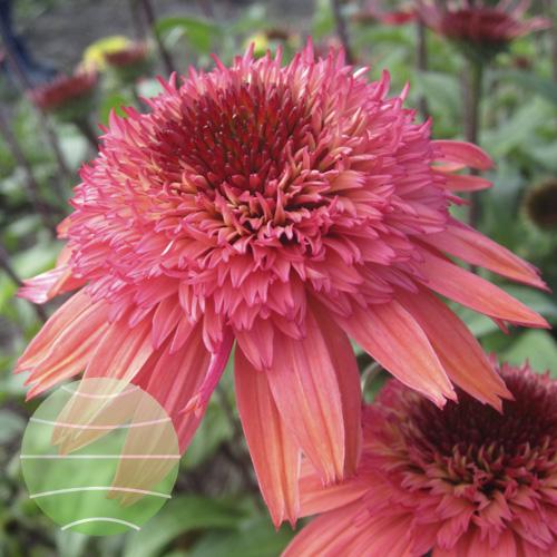 Echinacea p Raspberry Truffle 2012-07-10 1 (2)