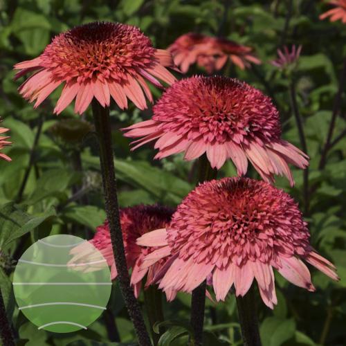 Echinacea p Raspberry Truffle 3c