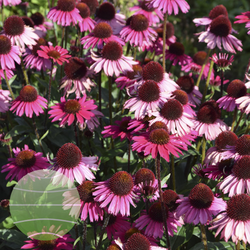 Echinacea p Sensation Pink 1