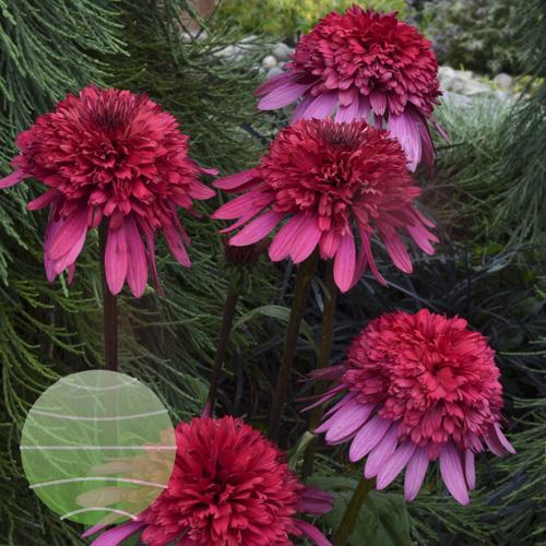 Echinacea p Supreme Elegance 1b