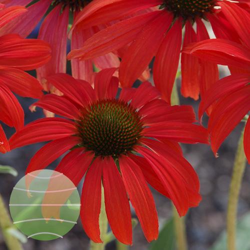 Echinacea p Tomato Soup 1b