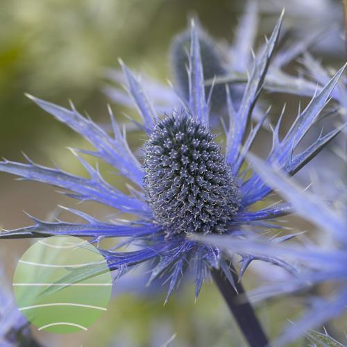 Eryngium Big Blue 225909