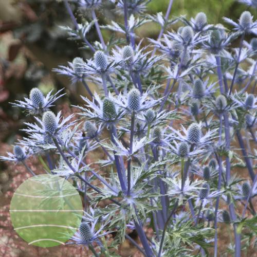Eryngium Big Blue 3