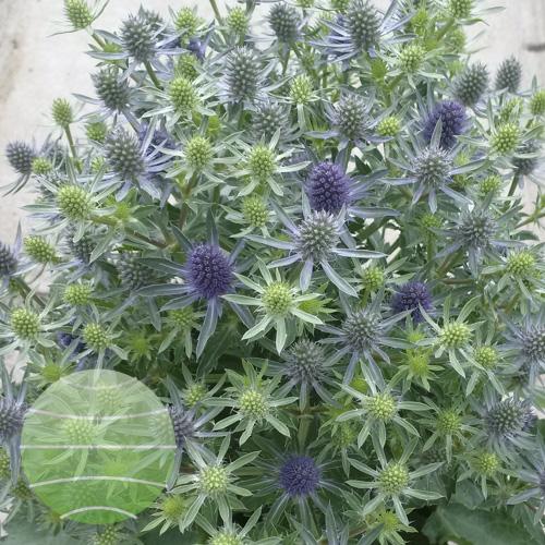 Walter Blom Plants Eryngium Magical Blue Globe