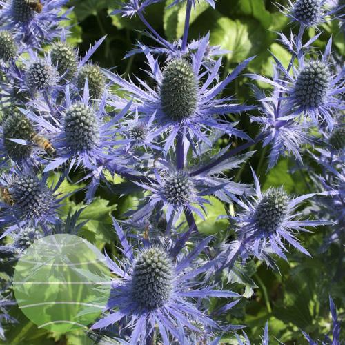 Eryngium Magical Blue Lagoon (27)