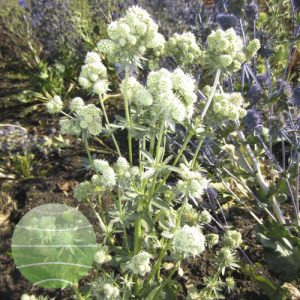 Walter Blom Plants Eryngium Magical White Falls