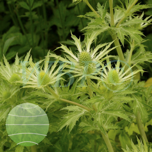 Eryngium Neptune's Gold in Hardy's Cottage Garden Plants display at Chelsea 2014
