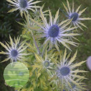 Walter Blom Plants Eryngium Neptune's Gold