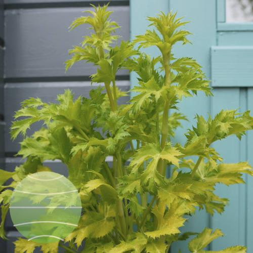 Eryngium Neptune's Gold making a great container plant in blue glazed pot