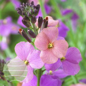 Walter Blom Plants Erysimum Jenny Brook