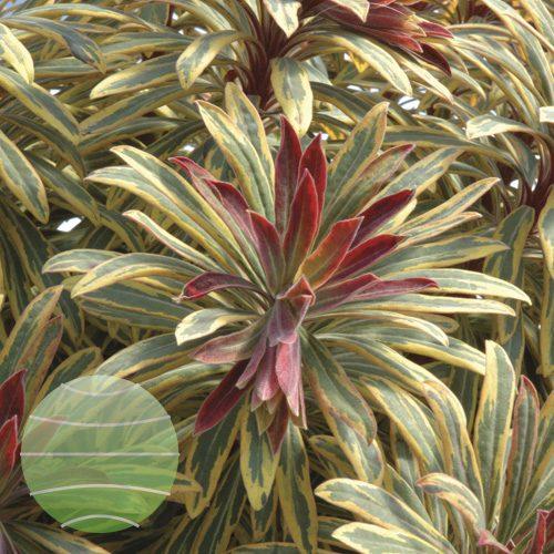 Walter Blom Plants Euphorbia Ascot Rainbow