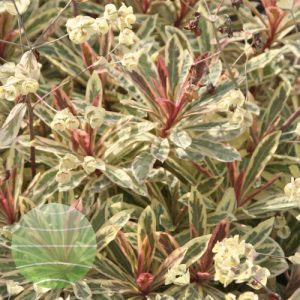 Walter Blom Plants Euphorbia Frosted Flame