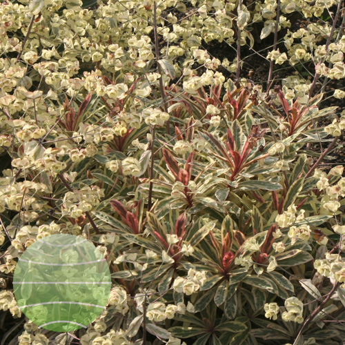 Euphorbia Frosted Flame 4