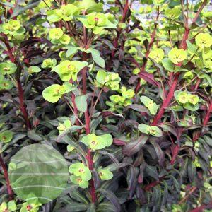 Walter Blom Plants Euphorbia Ruby Glow