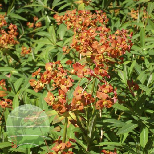 Walter Blom Plants Euphorbia griffthii Fireglow