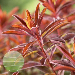Walter Blom Plants Euphorbia polychroma Bonfire