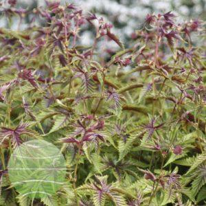 Walter Blom Plants Filipendula Red Umbrellas