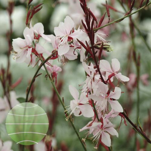 Walter Blom Plants Gaura Ballerina Blush