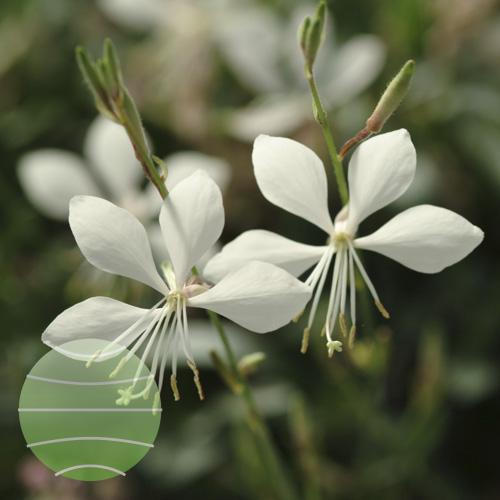 Walter Blom Plants Gaura Ballerina White