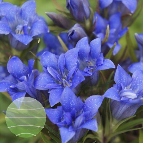 Walter Blom Plants Gentiana-scabra-Starlight