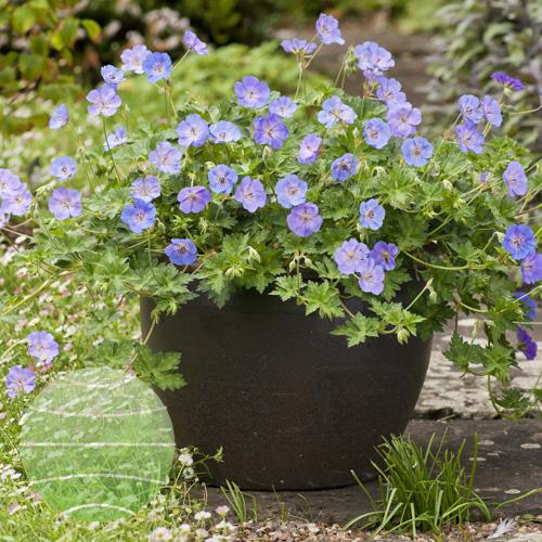Walter Blom Plants Geranium Azure Rush