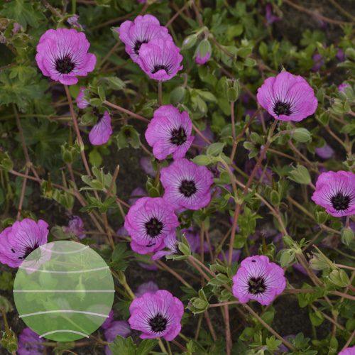 Walter Blom Plants Geranium Jolly Jewel Pink