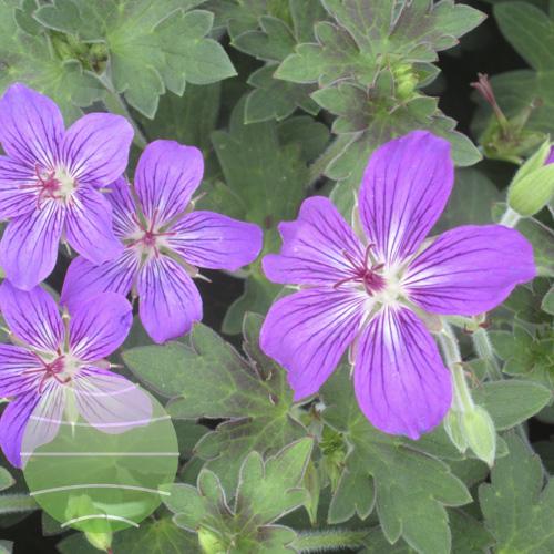Walter Blom Plants Geranium Lakwijk Star
