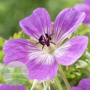 Walter Blom Plants Geranium Sylvias Surprise