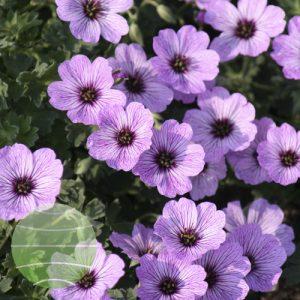 Walter Blom Plants Geranium cinereum Ballerina