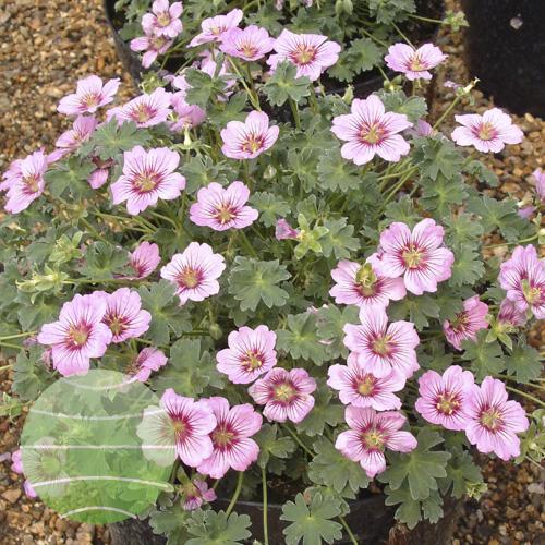 Walter Blom Plants Geranium cinereum Rothbury Gem