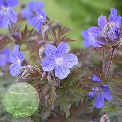 Walter Blom Plants Geranium himalayense Kaya