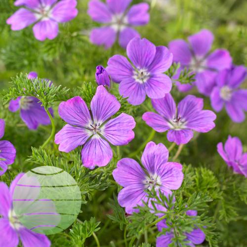 Walter Blom Plants Geranium La Vita Lace