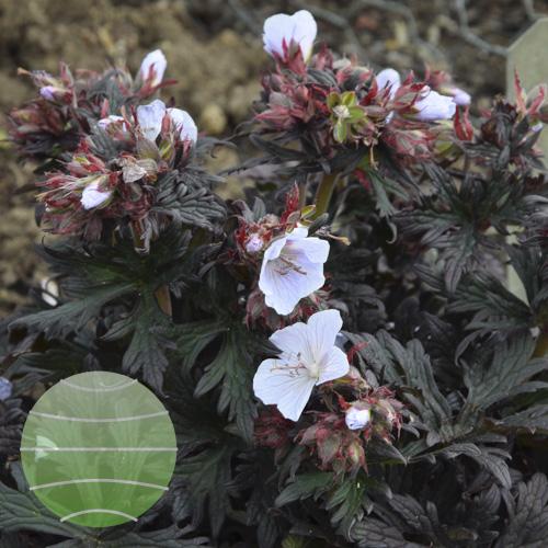 Geranium pratense Black & White 15_06_25 1