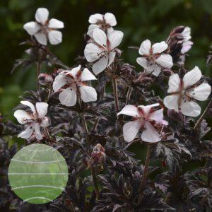 Walter Blom Plants Geranium pratense Midnight Ghost