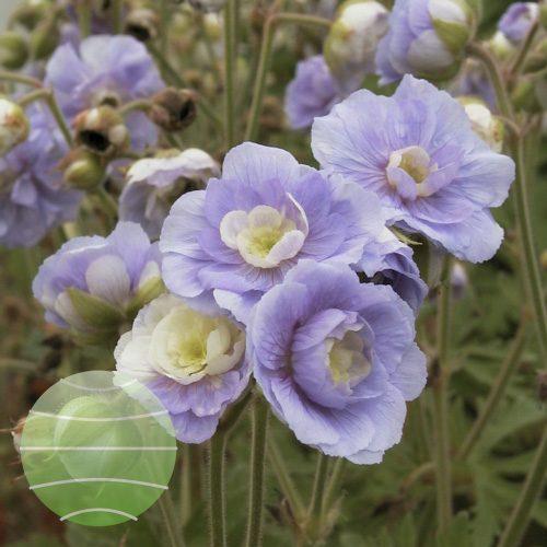 Walter Blom Plants Geranium pratense Summer Skies