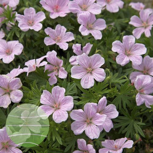 Walter Blom Plants Geranium sang Pink Pouffe
