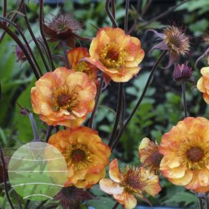 Walter Blom Plants Geum Cocktail Alabama Slammer