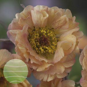 Walter Blom Plants Geum May Tai