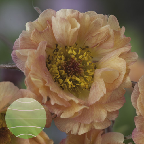 Walter Blom Plants Geum May Tai