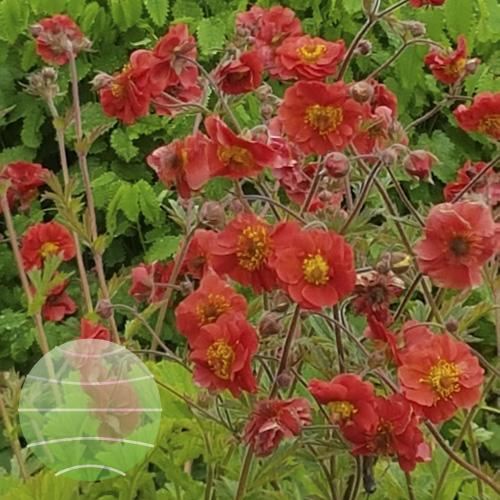 Walter Blom Plants Geum Sangria