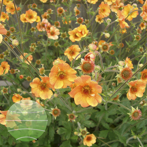Walter Blom Plants Geum Totally Tangerine