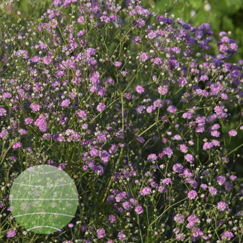 Walter Blom Plants Gypsophila Festival Pink Lady