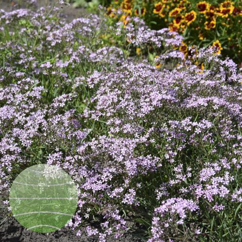 Walter Blom Plants Gypsophila Festival Pink Splash