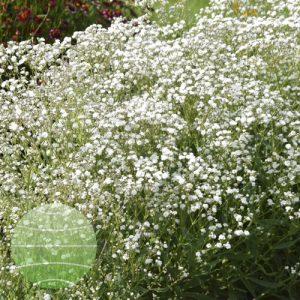 Walter Blom Plants Gypsophila Festival Snow