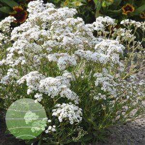 Walter Blom Plant Gypsophila Festival Star