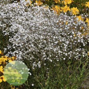 Water Blom Plants Gypsophila Festival White Flare
