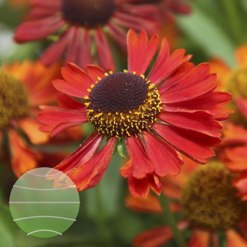Walter Blom Plants Helenium Mariach Siesta