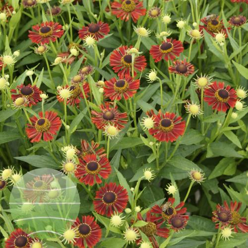 Walter Blom Plant Helenium Mariach Siesta