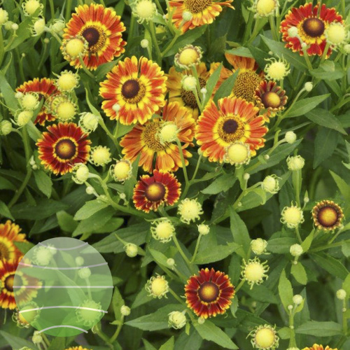 Walter Blom Plants Helenium Mariachi Fuego