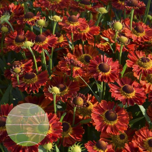 Walter Blom Plants Helenium Mariachi Ranchera